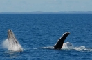 Whalesong Cruises - Whalewatching