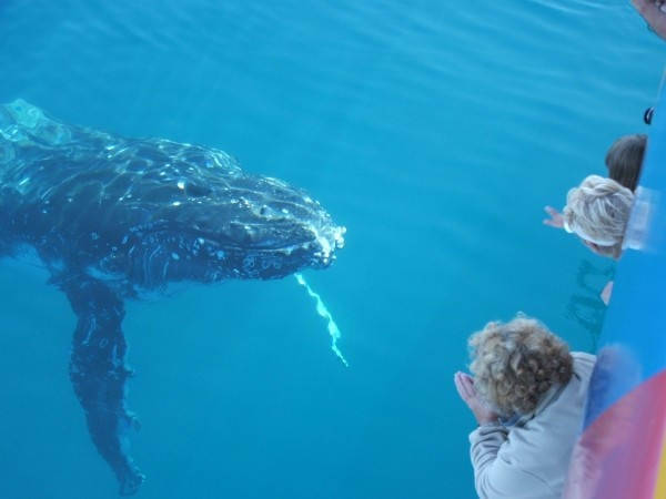 Whalewatching aboard Spirit of Hervey Bay